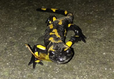Okiem przyrodnika – Salamandra plamista